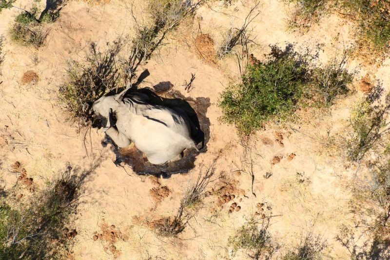 A dead elephant is seen in this undated handout image in Okavango Delta, Botswana May-June, 2020. (REUTERS File Photo)