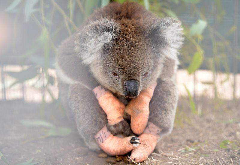 An injured koala sits at the Kangaroo Island Wildlife Park, at the Wildlife Emergency Response Centre in Parndana, Kangaroo Island, Australia on January 19, 2020. (REUTERS File Photo)