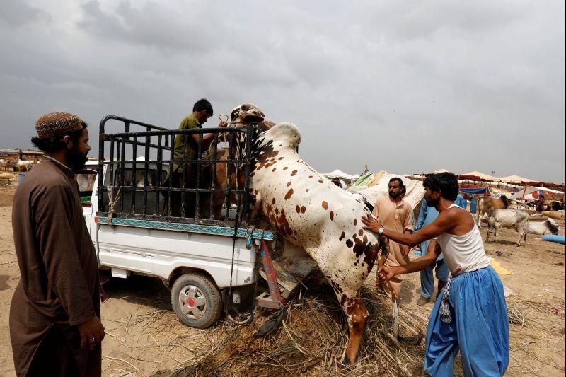 People load bulls onto a van at a cattle market, ahead of the Muslim festival of sacrifice Eid al-Adha, as the coronavirus disease (COVID-19) pandemic continues, in Karachi, Pakistan on July 26, 2020. (REUTERS Photo)