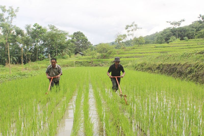 Two farmers working with Cono weeder at their SRI Field in Chiephobozou, Kohima. According to report, the SDAO Chiephobozou establishment is undertaking a System of Rice Intensification (SRI) with paddy hybrid MTU1010 under National Food Security Mission (NFSM) at various villages. One such is at Nerhe Model which is performing well. The farmers are trained from nursery seedbed preparation with banana pseudo stem to transplanting into the paddy field. Thereafter, Cono weeder usages are taught for weeding purpose. The four main components of SRI viz soil fertility management, planting method, weed control and water irrigation management are put into practice for better crop yields. (Photo Courtesy: Vizokhonyü Yhome)