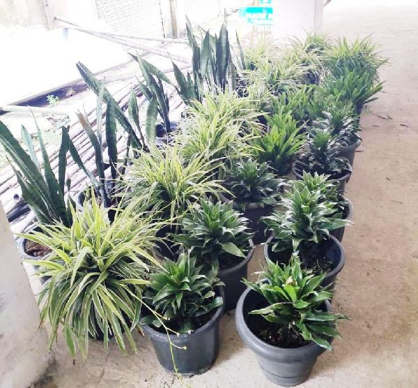 """KAK Stores Kohima donated 32 potted plants for 'Green Line' in Kohima. Informally tagged as """"The Green Line Experiment,"""" this is a citizen's movement to line the streets of Kohima with potted greens and plants to add a facelift to the city and also conserve our environment."""