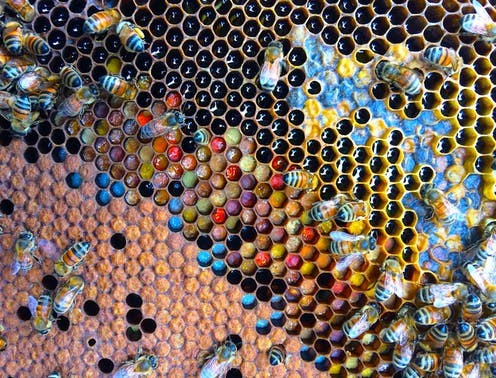 Worker bees with capped brood (brown), open brood (white larva), all sorts of coloured pollen and shiny fresh nectar. Cooper Schouten, Author provided