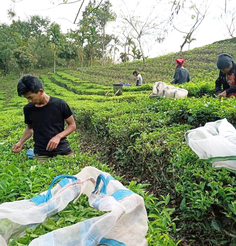 Chahtong working at a tea garden in Tizit during this lockdown.