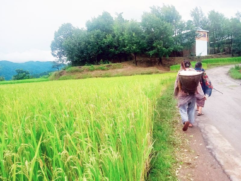 Farmers walk past a paddy field at Kikruma under Phek district. (Morung Photo by Chizokho Vero)
