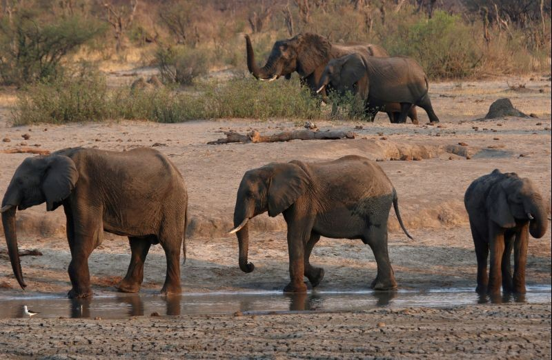 A group of elephants are seen near a watering hole inside Hwange National Park, in Zimbabwe, October 23, 2019. (REUTERS File Photo)