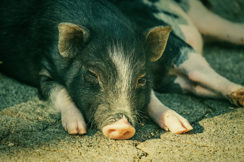 So far 18,000 pigs have died after contracting the virus across 14 districts of the state according to a senior official of the Assam's Animal Husbandry and Veterinary Department. (Representative Image: pixabay.com)