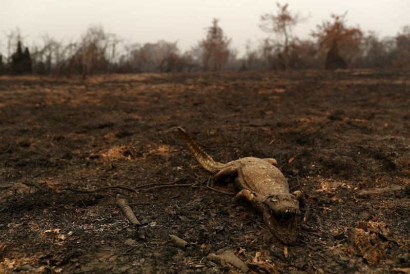 A dead caiman is pictured in an area that was burnt in a fire in the Pantanal, the world's largest wetland, in Pocone, Mato Grosso state, Brazil on August 31, 2020. (REUTERS File Photo)