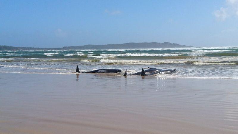 Stranded whales are seen on a sandbar in Macquarie Heads, Tasmania, Australia, September 21, 2020. Picture taken September 21, 2020. ( REUTERS Photo)