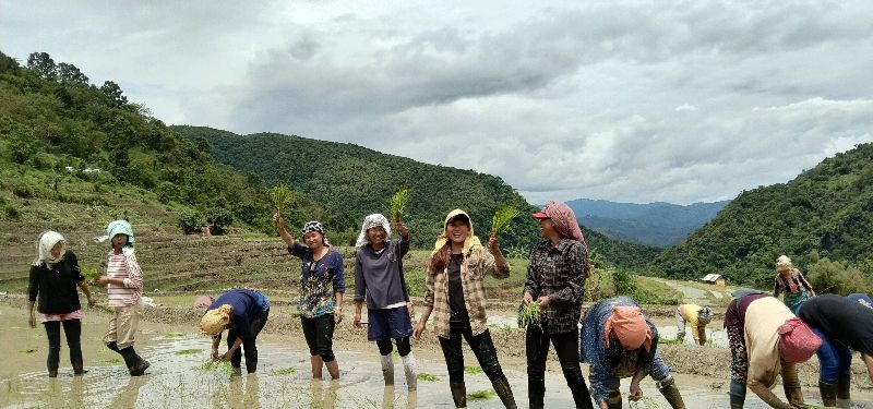 Students and young women from neighbouring villages sowing paddy saplings at Müdütsügho village. With classes suspended, students have been working as part-time farm hands to generate incomes and help their families. (Morung Photo)
