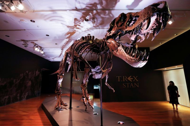 """An approximately 67 million-year-old Tyrannosaurus Rex skeleton, one of the largest, most complete ever discovered and named """"STAN"""" after paleontologist Stan Sacrison who first found it, is seen on display ahead of its public auction at Christie's in New York City, New York, US on September 15, 2020. (REUTERS Photo)"""