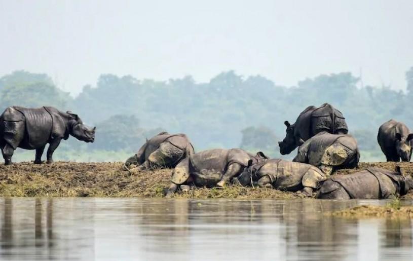 Rhinos rest on dry patch of land at Kaziranga. (Photo: Reuters)