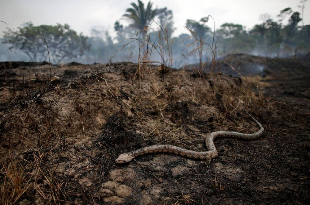A snake is seen while a tract of the Amazon jungle burns as it is cleared by loggers and farmers in Porto Velho, Brazil August 24, 2019. REUTERS/Ueslei Marcelino
