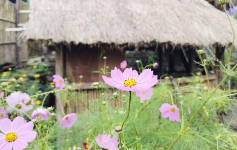 Cosmos in full bloom in Pfütsero area. (Photo Courtesy: The Kalos)