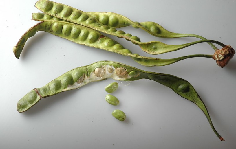 Yongchak (Parkia speciosa) is a very popular legume in India and Southeast Asia. ( Photo:Hariadhi, CC BY-SA 3.0 <http://creativecommons.org/licenses/by-sa/3.0/>, via Wikimedia Commons)